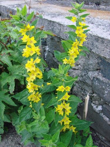 2008 07 05 Mes fleur de lysimaque punctata