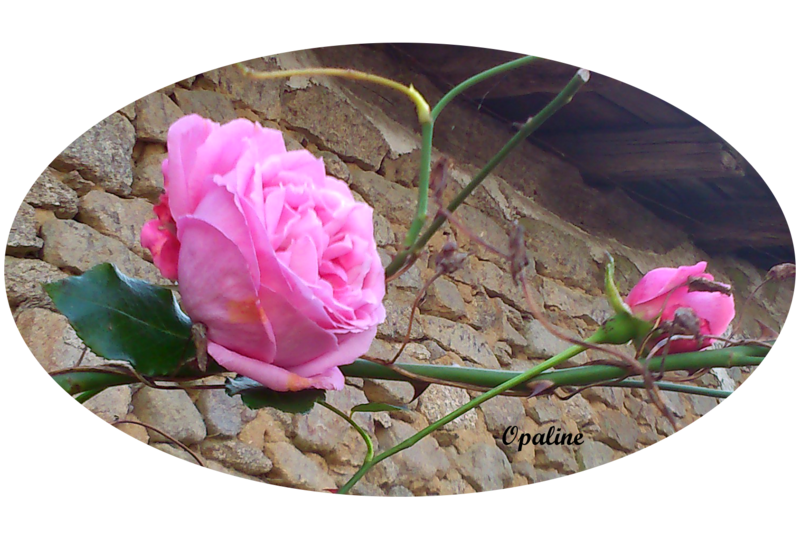 Rose novembre
