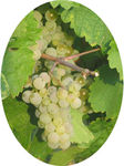 riesling_rond