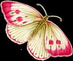 papillon framboise