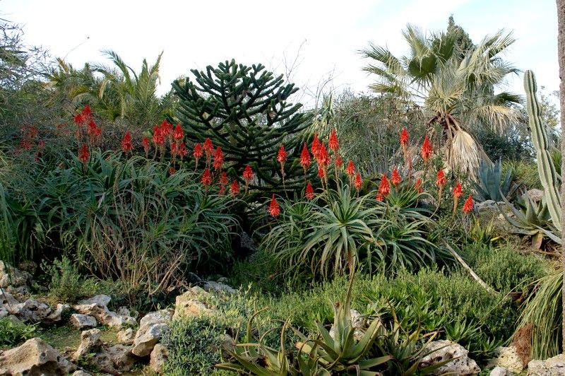 aloe arborescens jardin de hyeres nature faune flore regions. Black Bedroom Furniture Sets. Home Design Ideas