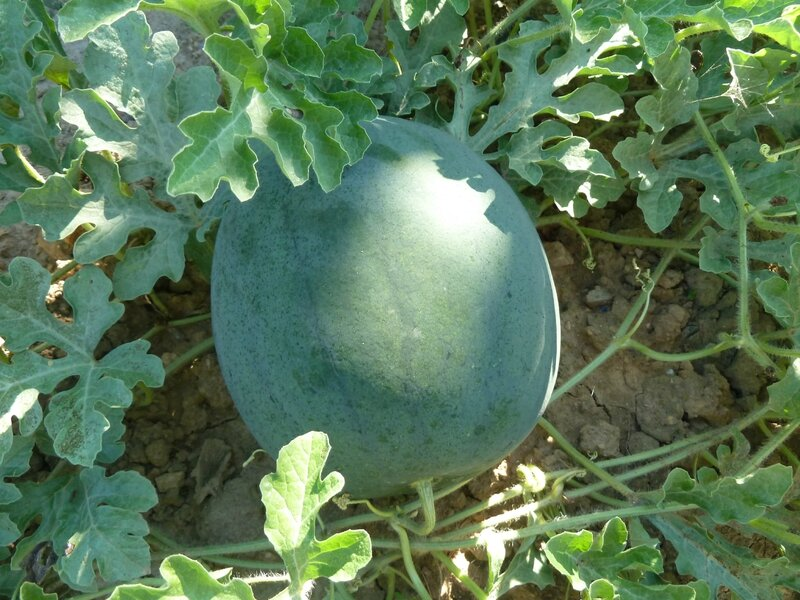 15-courges (47)