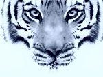 tigre_bleu
