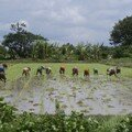 Rice field bagan