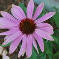 L'échinacéa purpuréa