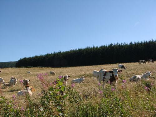 2008 08 21 Les vaches au pied du Mont Mézenc