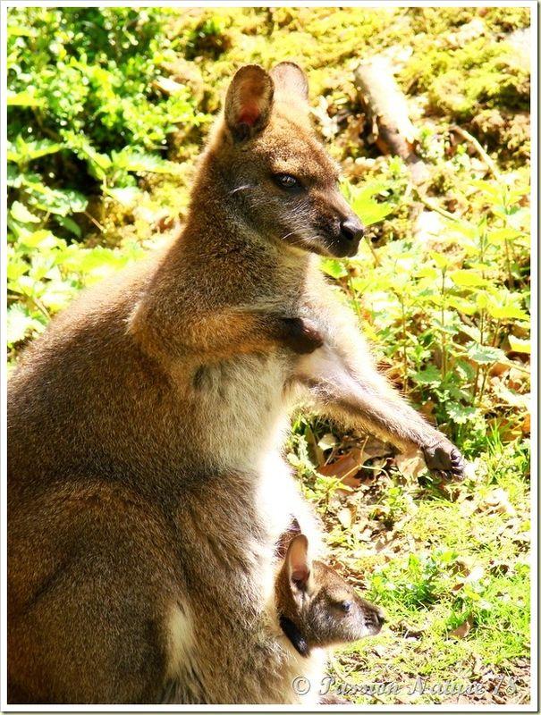 wallabies de la forêt de Rambouillet (21)