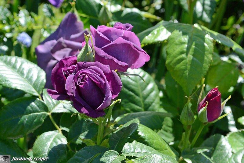 Rosa-minerva