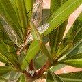Tipules • Nephrotoma appendiculata (Accouplement)• Tipulidae