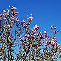 Magnolia 0602163