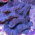 Blue rhodactis