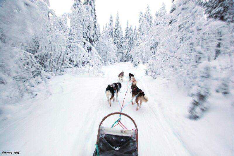 forêt blanche et chien de traineau