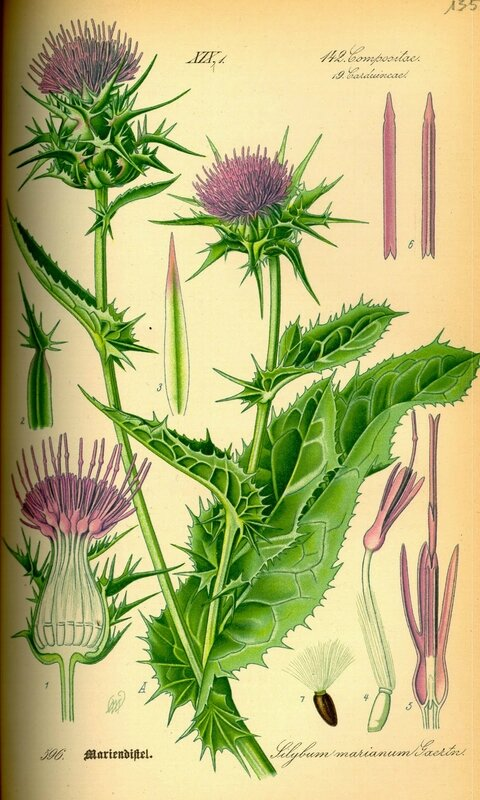 Carduus - Illustration_Silybum_marianum0