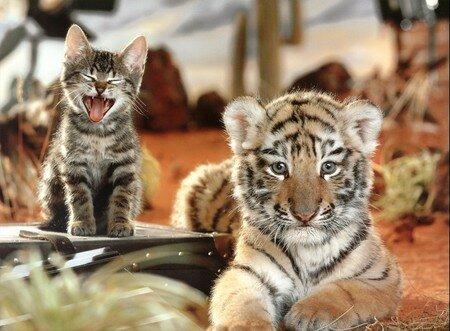 chat___tigre