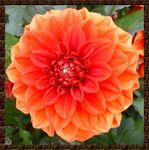 fleur_dahlia_1