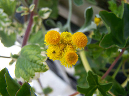 fleurs_ponpon_parc_thermal_denis