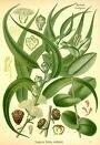eucalyptus5fi7