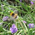 Les abeilles butinent même en banlieue!!!