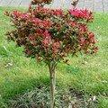 Hibiscus tige