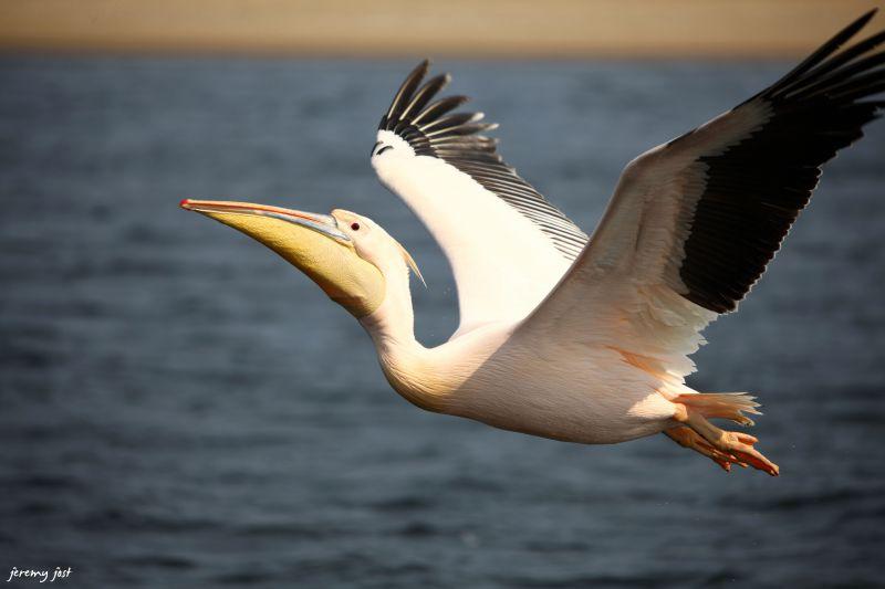 pelicans walwis bay