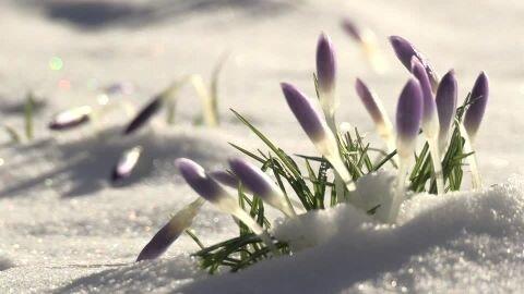 438067557_crocus_fonte_des_neiges_fondre_fleur