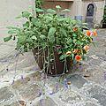 Les plantes de la cour en juin - les grands pots