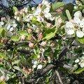 1-Arbre fruitier en fleurs