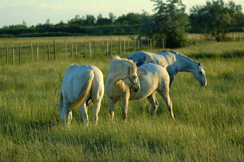 1280px-3_horses_on_pasture (1)