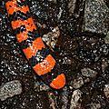 Anilius scytale - serpent rouleau
