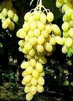 raisin centenial bio potager du cabanon légumes bio garéoult