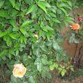 rosier 2