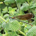 caleopteryx_virgo_ femelle_4