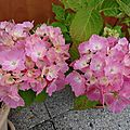L'hortensia rose