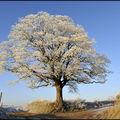l'arbre rond de Beugin