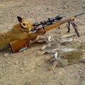 Un renard chasse le lapin