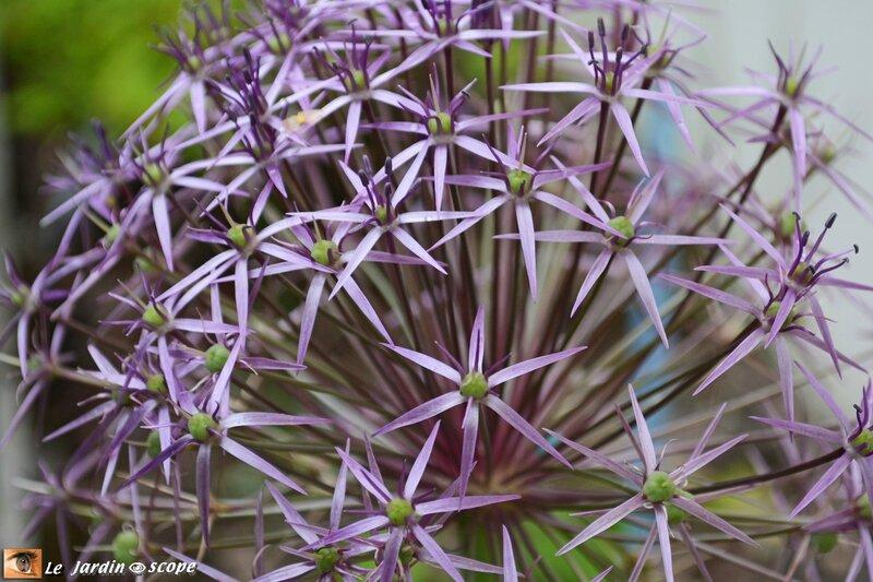 0525-Fleur-d'ail