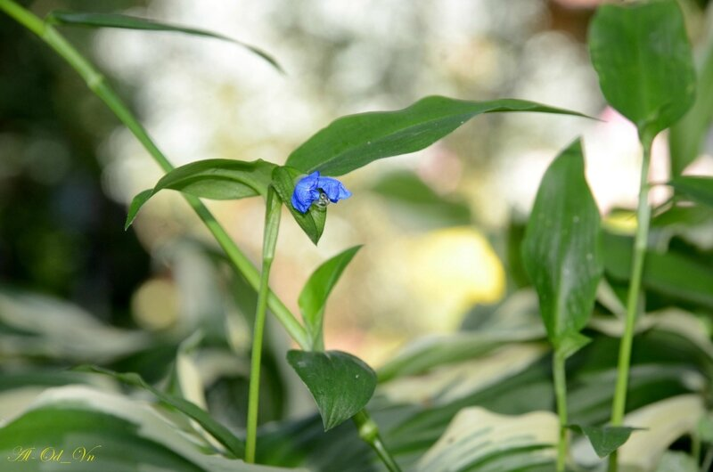 VAL_7001-Commelina communis-Commelinaceae