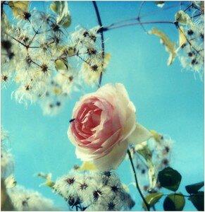 4_Clark_s_Rose