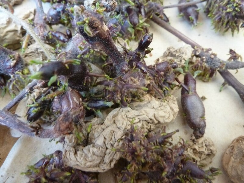 21-pommes de terre âgées (3)