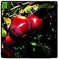Aux Pommes 2011