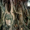 Tête du Bouddha dans un banian