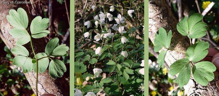 tige dressée grêle nue à la base feuilles longuement pétiolées