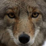 coyote_face