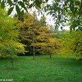 Couleurs d'automne des Acer Callipes
