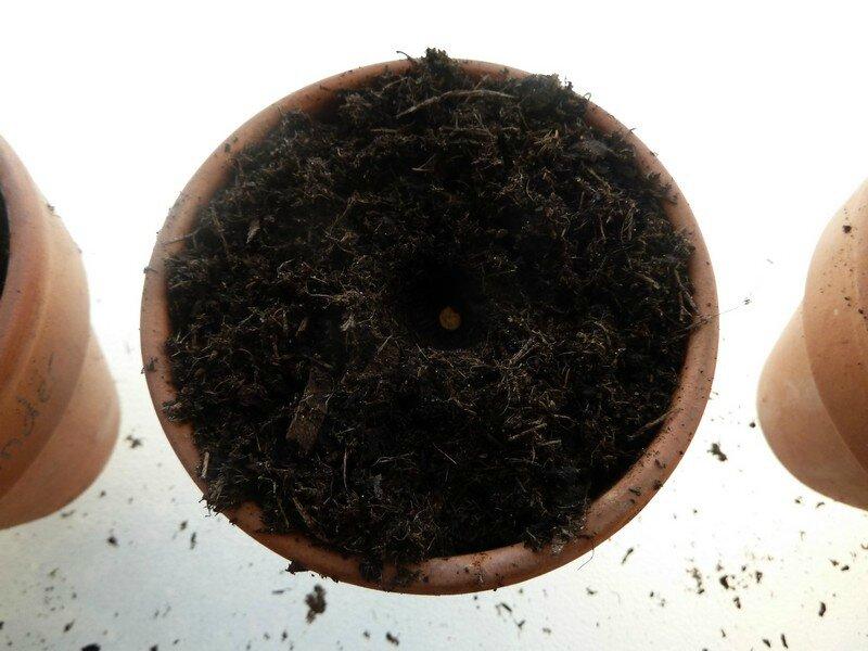 semis poivron 2