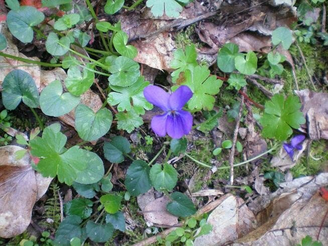 1-Violette
