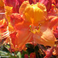 Rhododendrons orange-feu