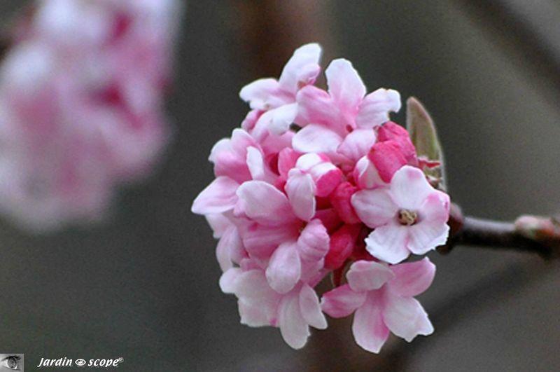 un arbuste qui se couvre de fleurs parfum es tout l 39 hiver le jardinoscope toute la flore. Black Bedroom Furniture Sets. Home Design Ideas
