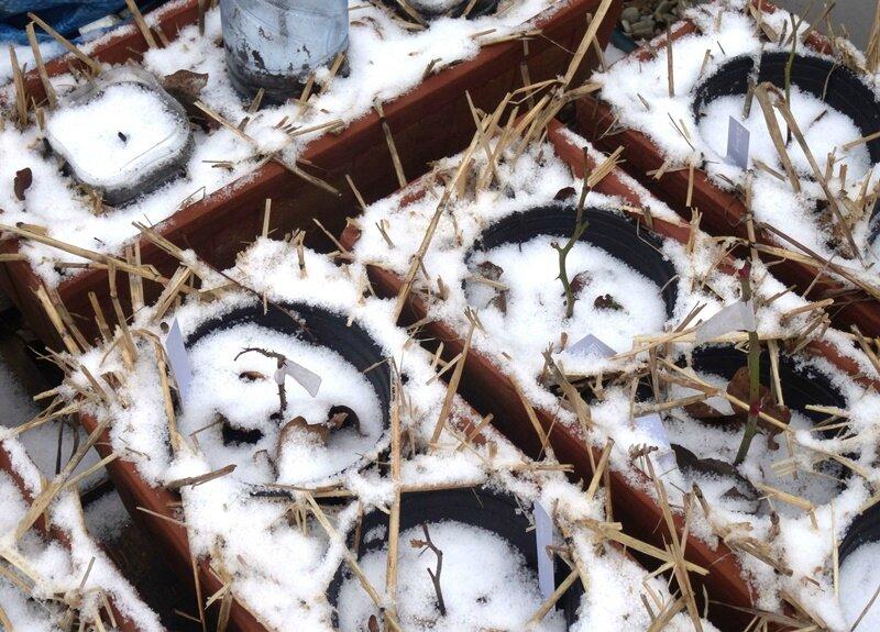 boutures sous la neige