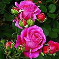 J'aime les roses